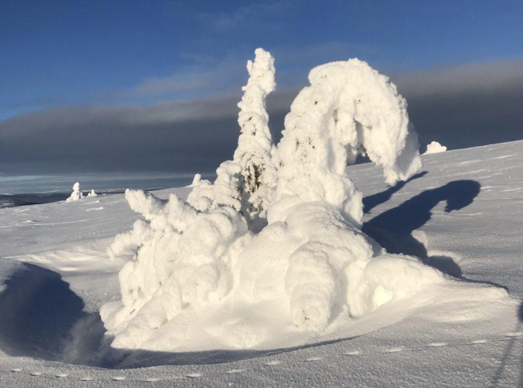 Snøfylt grantre som en snøskulptur på Grønfjell